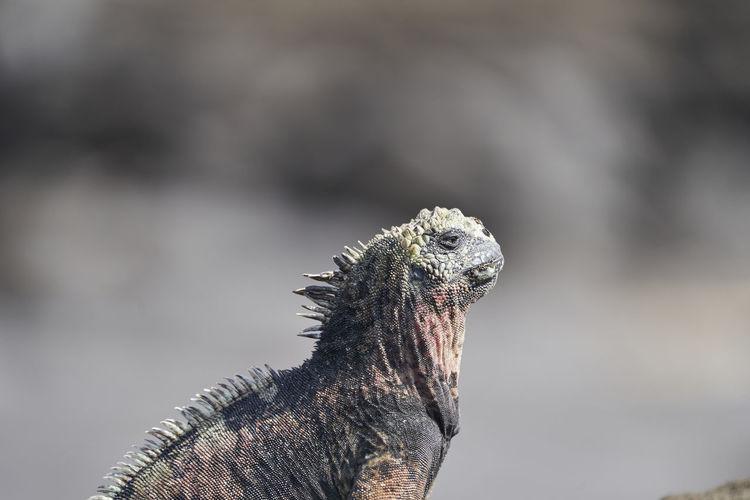 Marine iguana, amblyrhynchus cristatus, also sea, saltwater, or galápagos marine iguana on lava rock