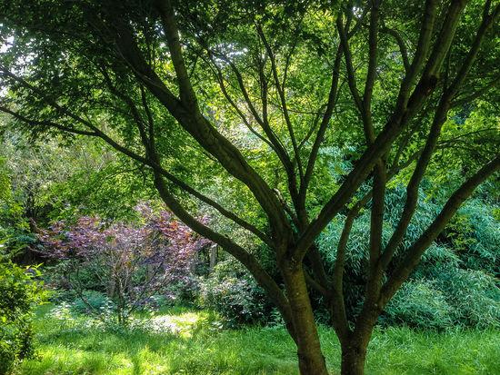Summer in the garden Dappled Summertime Sunlight Tree Trees Acer Garden Summer Sunlight And Shadow Verdant