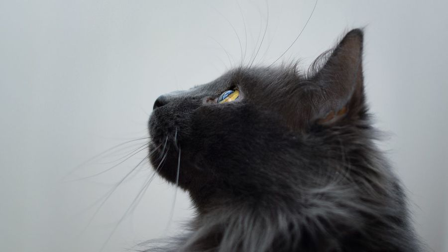 One Animal Animal Themes Animal Mammal Pets Domestic Domestic Animals Animal Head  Looking Up Looking Away Animal Body Part Whisker Indoors  No People Feline Close-up Looking Cat Domestic Cat Vertebrate
