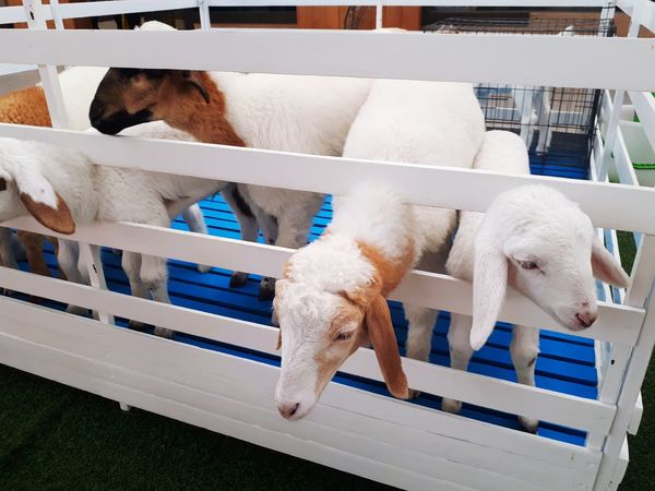 Sheep in the stall, it's so cute, Kids like Sheep Animal Stall Stable Pet Zoo Farm White Background Livestock Food Cattle Sheep Farm Ewe Lamp RAM Beautiful Nature Animal Dog Pets Domestic Animals Mammal Animal Themes Indoors