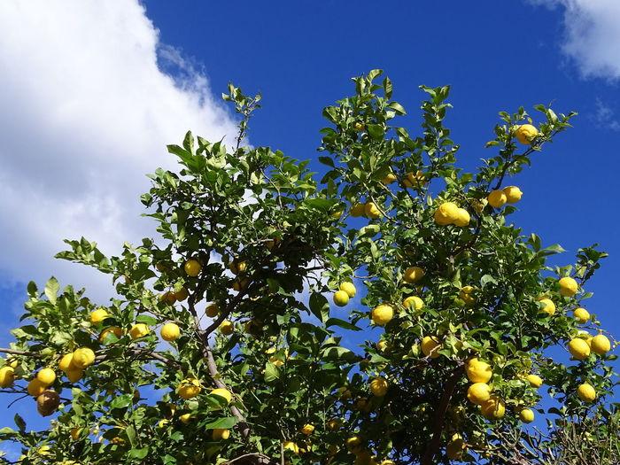 Zitronenbaum im