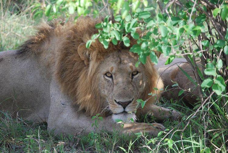 Lion Animals I'm Watching You Kenya Africa Masai Mara