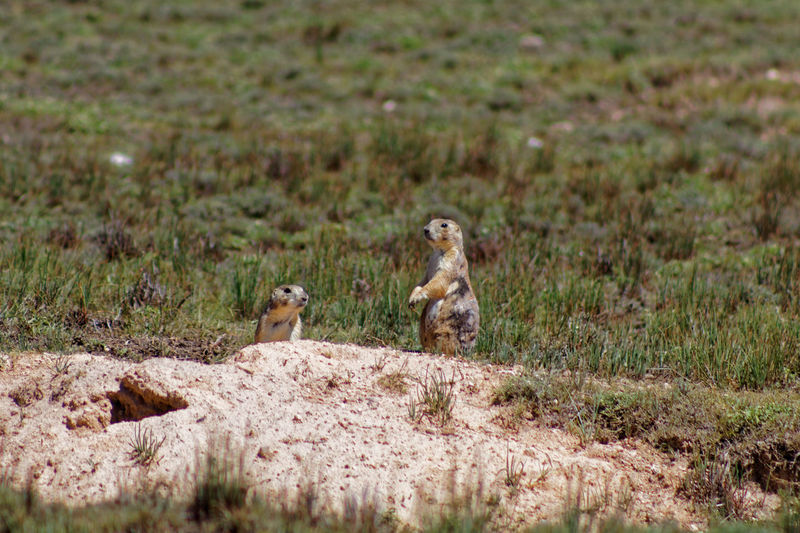 Prairie Dogs Animal Themes Beauty In Nature Grass Grassy Green Color Landscape Nature Outdoors Prairie Dogs Prairiedog Wildlife Wildlife & Nature Wildlife Photography
