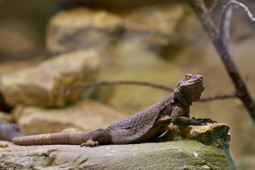 Animals In The Wild Animal Animal Photography Animal Themes Animal Wildlife Animals Animals In Captivity Animals In The Wild Close-up Day Driftwood Focus On Foreground Iguana Lizard Nature No People One Animal Outdoors Reptile Rock Rock - Object Selective Focus Solid Textured  Vertebrate