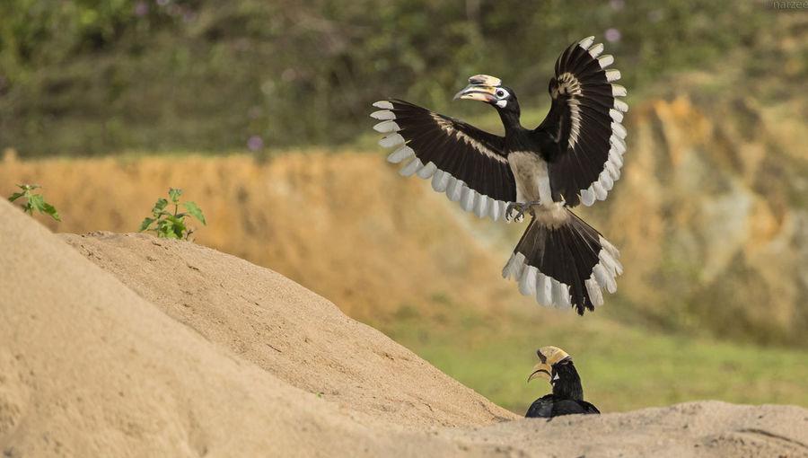 Great hornbill flying in mid-air
