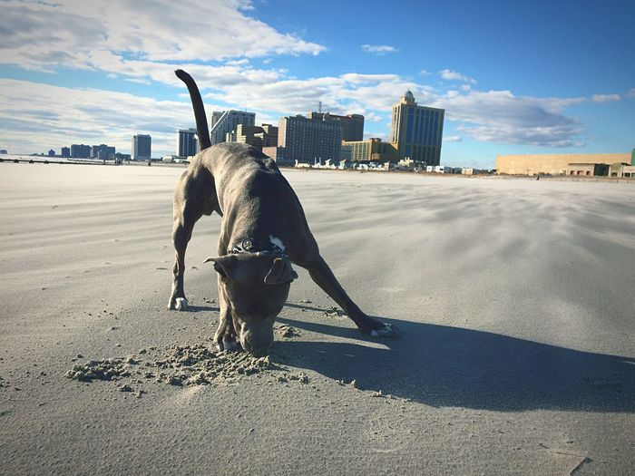 Dog playing with sand at beach against sky in city
