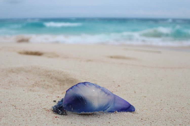 Man-O-War Bermuda Portuguesemanowar Portuguese Man Of War Pink Sand Sand Beach Sea One Animal Water Shore Sea Life Focus On Foreground Nature Animal Themes Close-up Horizon Over Water Day Scenics Outdoors No People Beauty In Nature