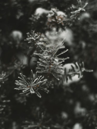 Close-up of snowflakes on tree