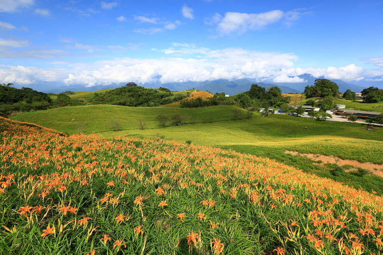 Agriculture Blossom Blue Cloud - Sky Flower Flowerbed Freshness Growth Landscape Nature No People Outdoors Scenics Sky Sunlight Travel Destinations 六十石山 藍天白雲 金針花