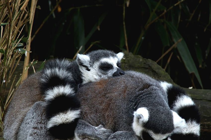 Pooped Brady Bunch Funny Funny Nature Socializing Social Gathering Social Mens Shoes Sleepy Rest And Relaxation Relax Relaxing Relaxation Time Nature Nature_collection Nature Photography Lemur Lemurs Maki EyeEm Selects Animal Animal Themes Animal Wildlife Animals In The Wild One Animal No People Primate