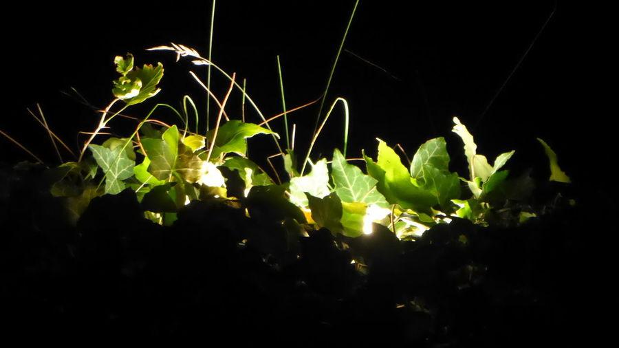 lierre Leaves