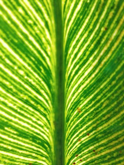 Leaf Full Frame Leaf Green Color Nature Close-up Leaf Vein Backgrounds Textured  Growth No People Freshness Texture Abstract Yellow Beauty In Nature Day Fragility Outdoors Frond Maximum Closeness
