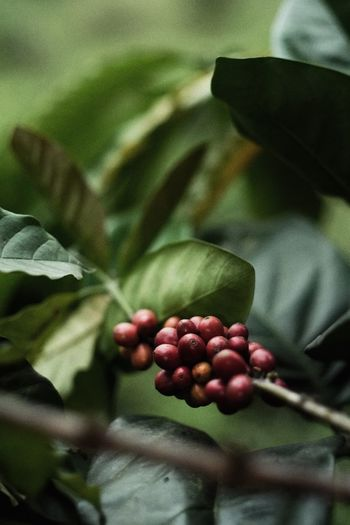 Menikmati proses hingga bisa dinikmati Coffee Coffeeplant Kopi Food And Drink Healthy Eating Fruit Food Berry Fruit Close-up Plant Part Plant Freshness Leaf Nature Agriculture Wellbeing Day Growth One Person Human Hand Focus On Foreground Red Green Color First Eyeem Photo