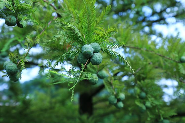 Low angle view of fruits hanging on pine tree