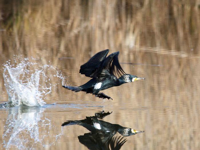 Bird 野鳥 Cormorant  水上池 Flying Spread Wings Water No People Animals In The Wild Nara Japan 3XSPUnity