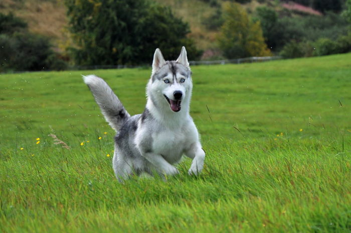 Blue Eyes EyeEm Nature Lover Malamute Alaska Animal Themes Day Dog Domestic Animals EyeEm Dogs Field Full Length Grass Green Color Growth Husky Mammal Nature No People One Animal Outdoors Pets Syberianhuskey Tree Wolf