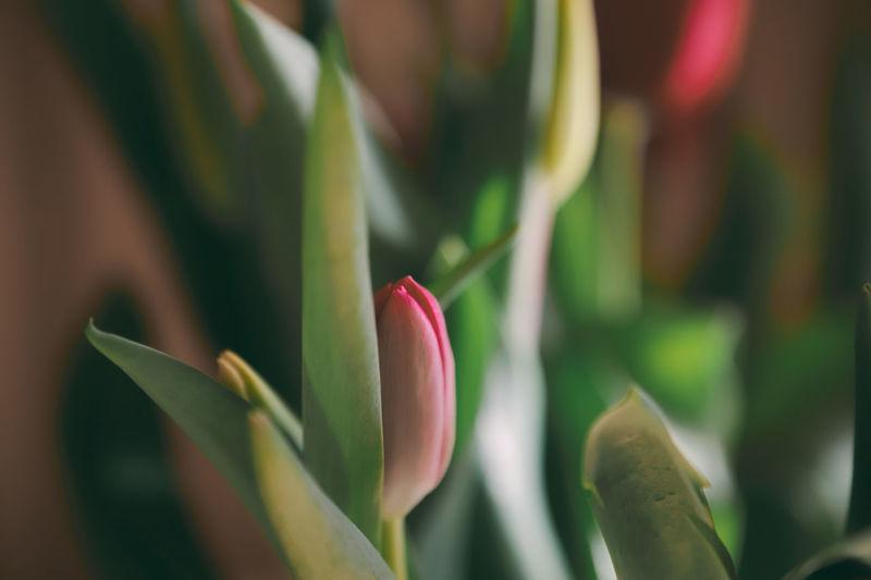 Close-up of pink tulip