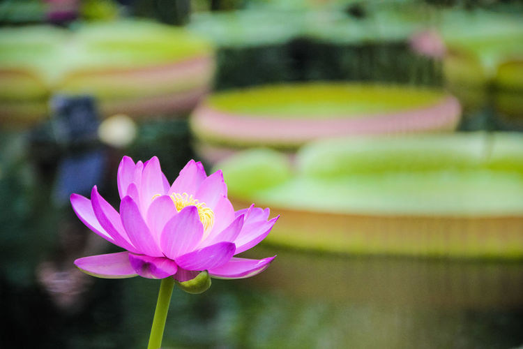 Close-up of pink water lily in pond