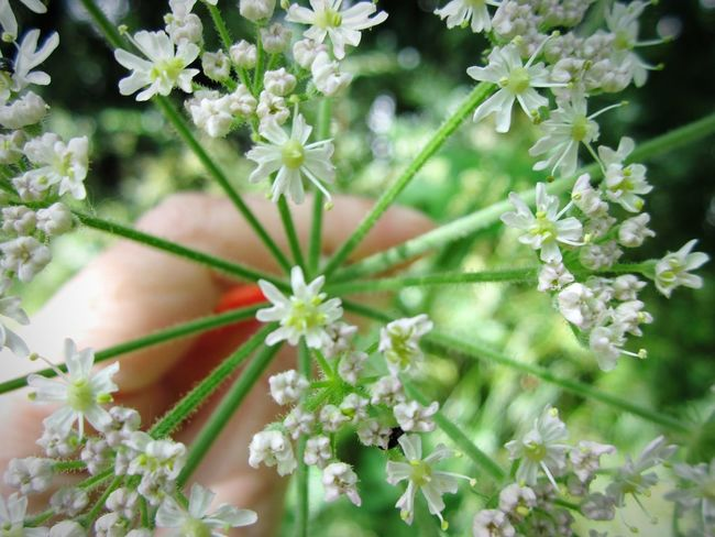 🌿🌿Getting in Touch with Nature 🌿🌿 Hello World Walking Around Holding On Flowers And Blossom Wild Flowers And Grasses Wild Flowers Walking Around Taking Pictures White Flower Hand Hand Holding Flower Green Green Green!