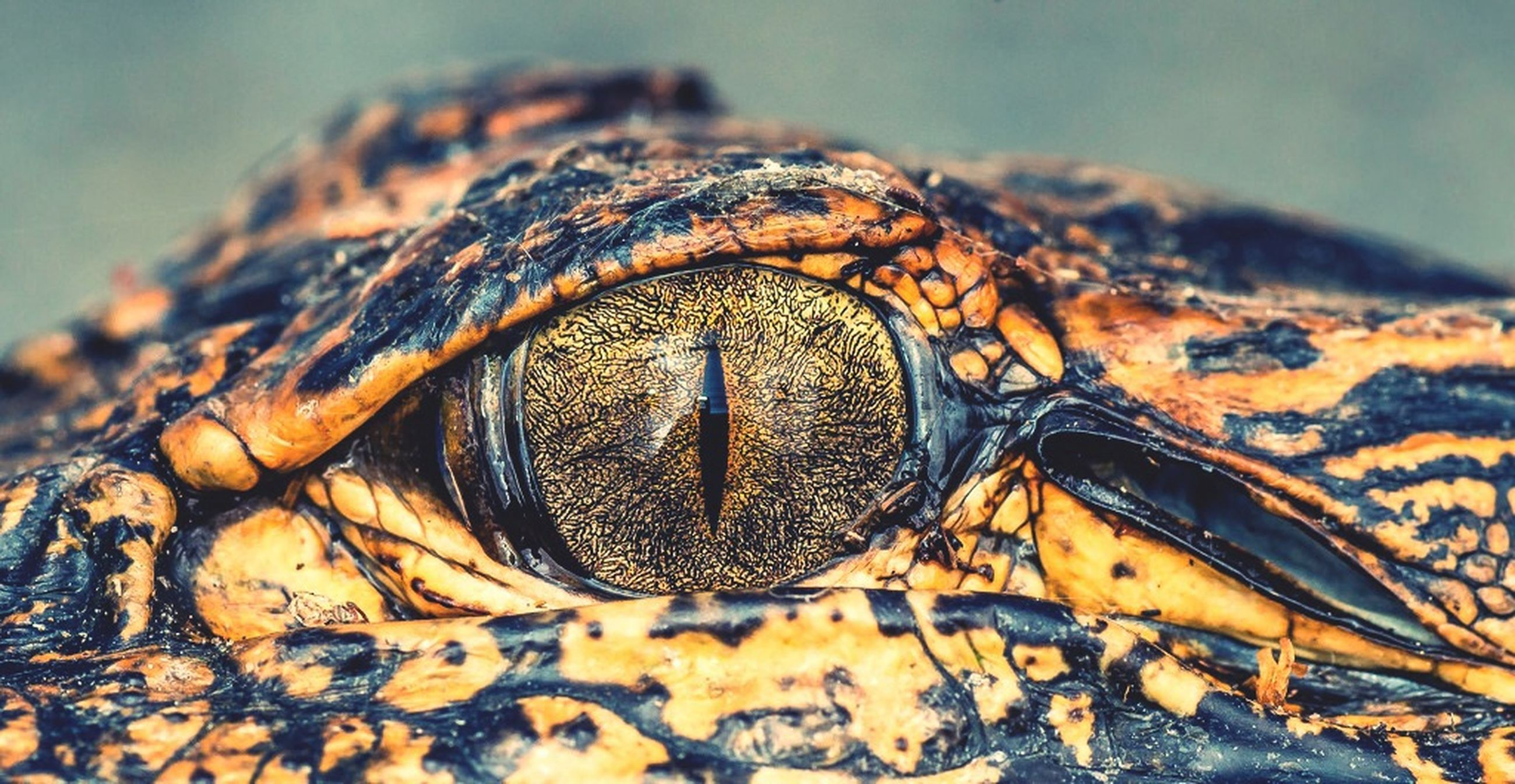 close-up, focus on foreground, one animal, animals in the wild, animal themes, natural pattern, wildlife, outdoors, pattern, selective focus, part of, day, nature, animal head, animal body part, no people, textured, reptile, animal markings, detail