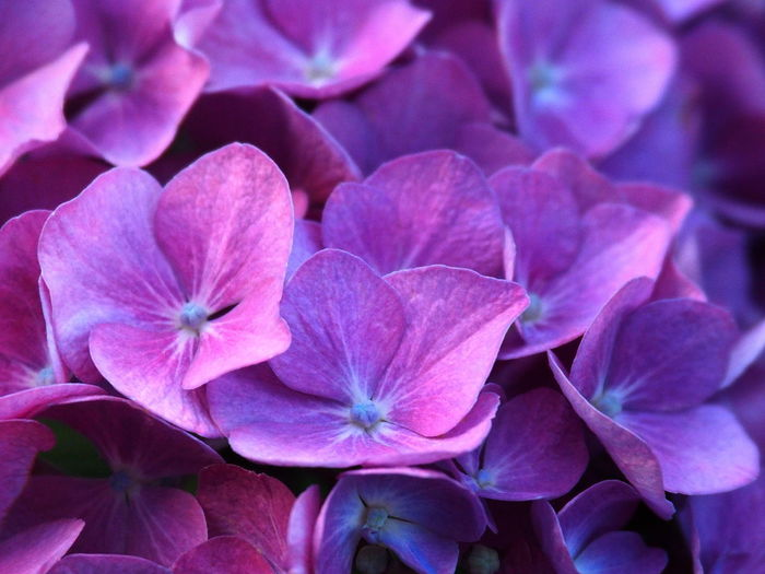 Bright Colors Garden Flowers Hydrangea Flower Backgrounds Beauty In Nature Bright Flowers Close-up Day Flower Flower Head Flowering Plant Full Frame Garden Garden Photography Hydrangea Nature No People Outdoors Petal Pink Color Plant Purple