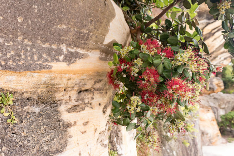 Red Beauty In Nature Close-up Day Flower Flower Head Flowering Plant Focus On Foreground Fragility Freshness Growth Inflorescence Nature No People Outdoors Plant Solid Stone Wall Sunlight Vulnerability  Wall