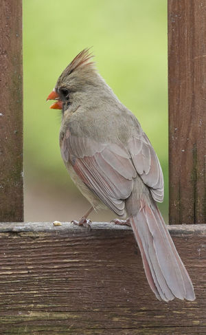Framed Northern Cardinal Female Animal Animal Themes Animal Wildlife Animals In The Wild Bird Close-up Focus On Foreground Full Length Looking Nature No People One Animal Outdoors Perching Railing Side View Vertebrate Wood - Material