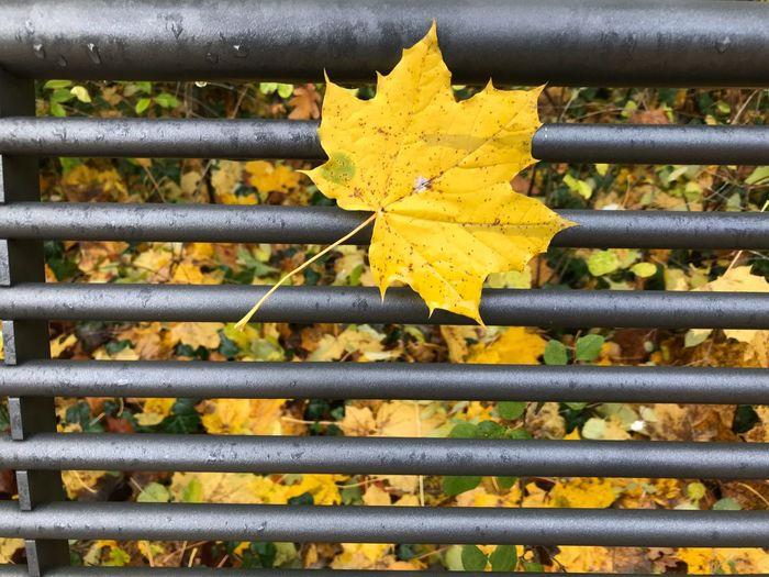 Close-up of leaf on metal fence