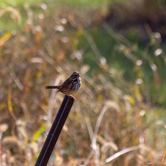 Song Sparrow on a post Canon EOS 60D Animal Wildlife Animal Animal Themes One Animal Animals In The Wild Vertebrate Focus On Foreground