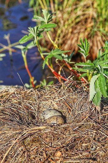 Яйца чайки Природа Nature гнездо гнездо чайки Berdnest Berd Nest Nest Bird Eggs карелия