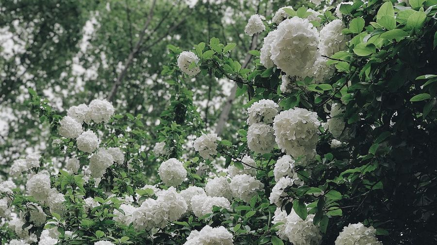 Plant Growth Flower Beauty In Nature Flowering Plant Fragility Freshness Nature Vulnerability  Focus On Foreground White Color Close-up Tree Outdoors Flower Head