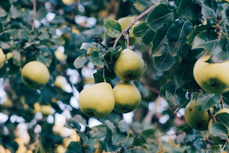 Pears Fruit Pears Pear Fruit Food Healthy Eating Food And Drink Plant Leaf Growth Tree Agriculture Fruit Tree Wellbeing Nature Branch Freshness Focus On Foreground Juicy