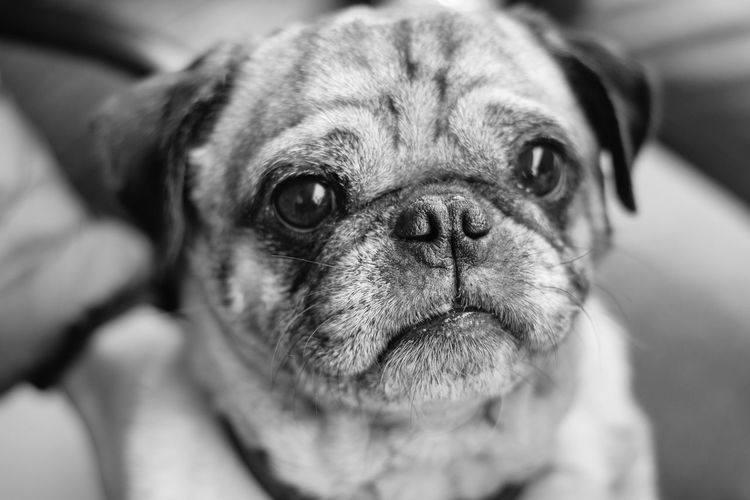 Kansas City Lifestyle in the Autumn Pug One Animal Canine Dog Domestic Pets Mammal Domestic Animals Lap Dog Small Close-up Portrait Animal Body Part Looking At Camera Indoors  People Wrinkled Purebred Dog