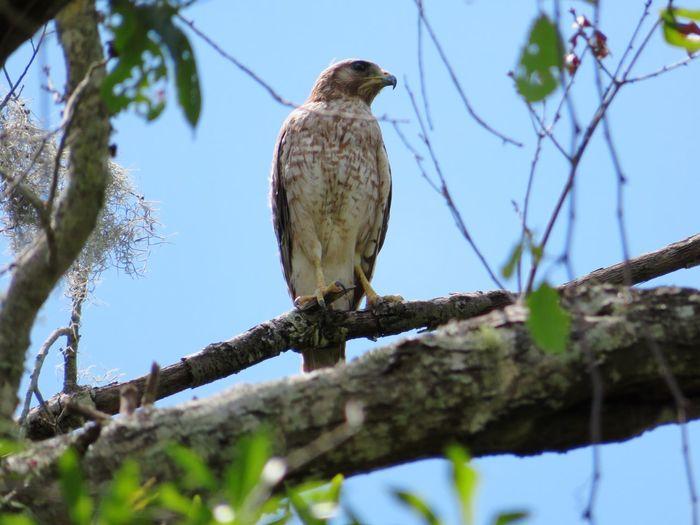 Wild hawk perching..third one I've seen today🦅 Hawk Hawks Hawks Of Eyeem Florida Wildlife & Nature Bird Of Prey Bird Perching Tree Branch Blue Sky Hawk - Bird