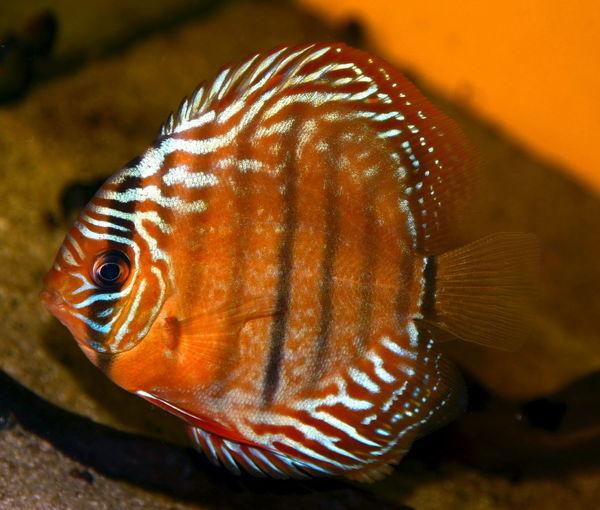 #Aquarium #reddiscus #amazon #discus #discusfish #discusfish #heckel #tropicalfish Animal Themes One Animal