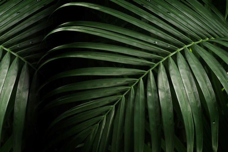 palm leaf for texture or background Leaf Palm Tree Plant Part Palm Leaf Green Color Growth Close-up Plant No People Beauty In Nature Tropical Climate Natural Pattern Pattern Nature Full Frame Tree Frond Freshness Leaves Day Outdoors Rainforest