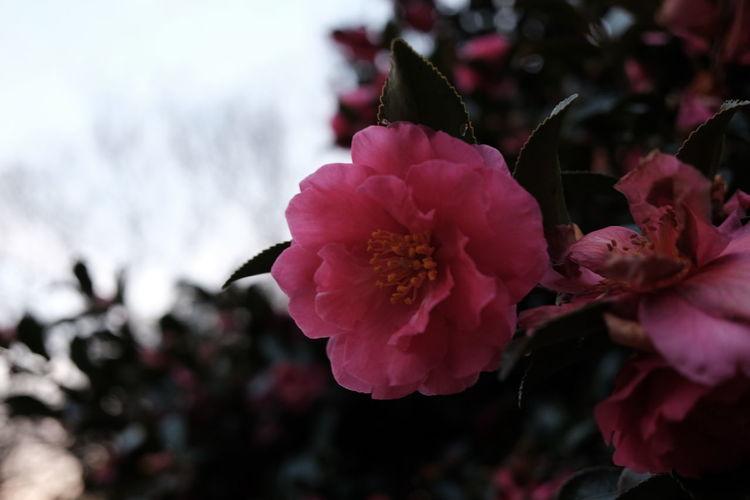 Flower Head Flower Pink Color Peony  Petal Close-up Plant