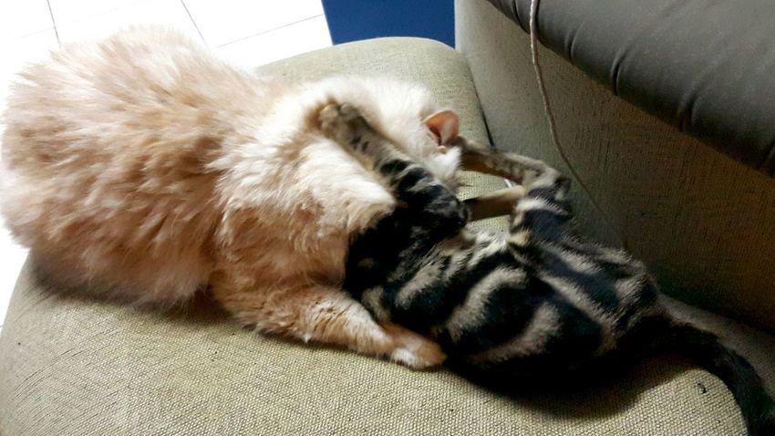Wrestlemania Mybengalcat MyPersiancat Playfull Everyday Joy Cat Lovers Bengal Cat E'tomm Vs Nemo