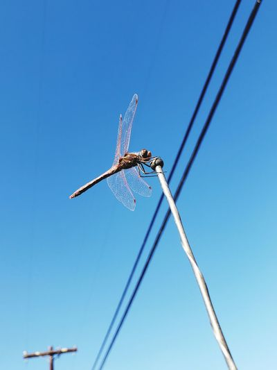 Dragonfly taking a break Dragonfly Fly Flying Insect Insects  Insect Photography Animal Wildlife Animal Photography Sky #freshstart Flying Clear Sky Blue Airshow Arts Culture And Entertainment Sky Bug Housefly Animal Wing Animal Antenna Formation Flying Damselfly Butterfly Moth