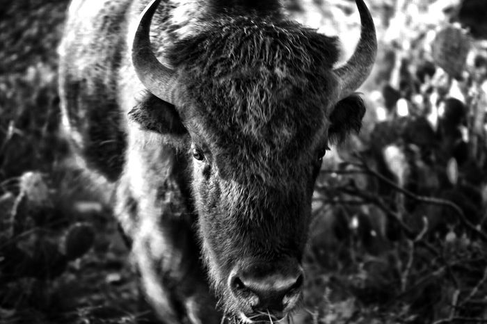 Bison, Buffalo, Blackbirds, Wyoming, Wild, Animal, Horns, Fur, Raw, Texas Photographer The Week On EyeEm Blackandwhite Photography Blackandwhite Animals In The Wild