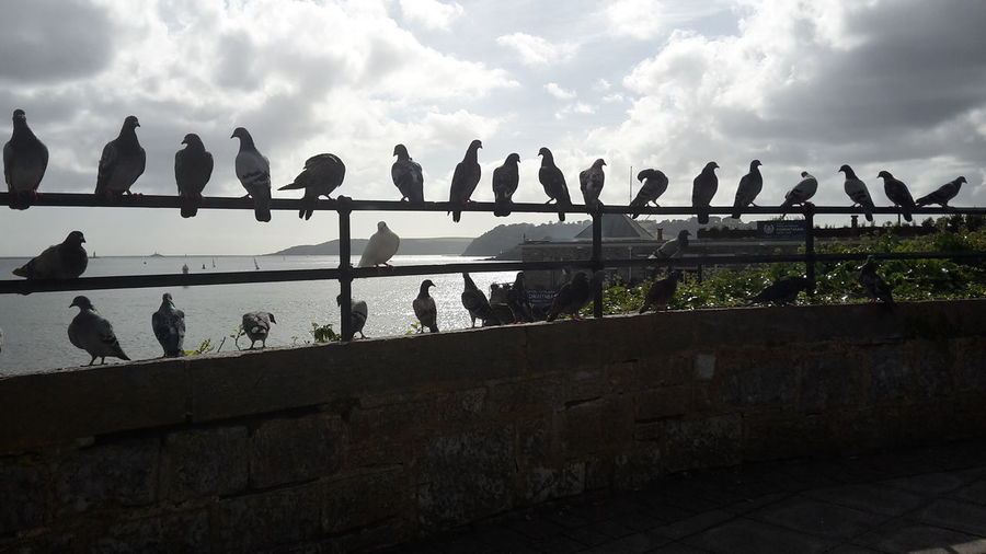 Pidgeon Parade On The Hoe