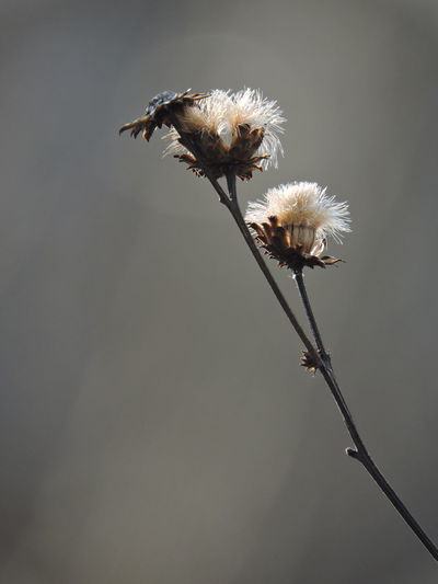 Sunlit Beauty Seed Heads Flower Flowering Plant Fragility Plant Vulnerability  Beauty In Nature Plant Stem Close-up No People Nature Freshness Growth Softness Dandelion Dry Flower Head White Color Focus On Foreground Inflorescence Day Wilted Plant Dandelion Seed