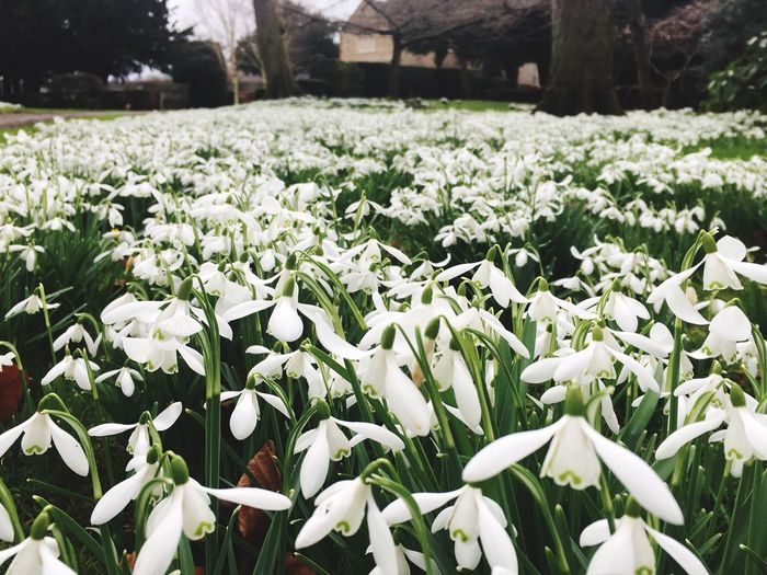 Snowdrops Nature Garden Photography Flower Garden White Color White White Flower Outdoors Freshness Growth Fragility Petal Delicate Small But Mighty Group Strength In Numbers Beauty In Nature Spring New Start Thousands Blooming Plant No People Nature Flower Head Field Day Close-up