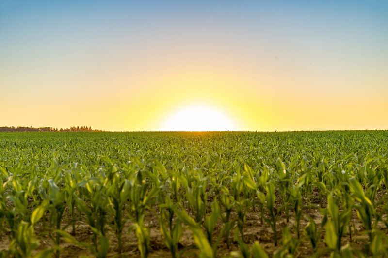Tranquil Scene Landscape Scenics Field Tranquility Beauty In Nature Sunset Agriculture Rural Scene Growth Green Color Farm Sun Nature Crop  Idyllic Majestic Horizon Over Land Vibrant Color Green