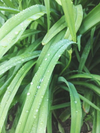 Green Color Drop Growth Wet Leaf Plant Freshness Nature Aloe Vera Plant Aloe Water Backgrounds No People Close-up Full Frame RainDrop Outdoors Grass Beauty In Nature Day EyeEmNewHere Sommergefühle
