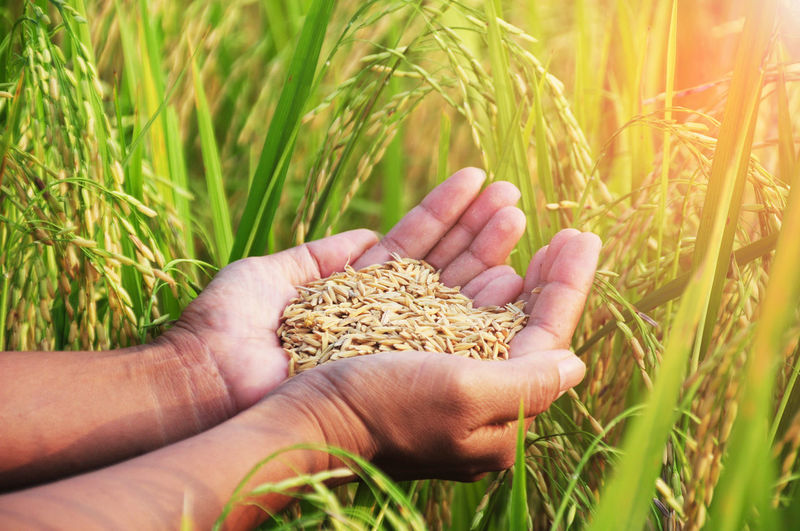 Agriculture Cereal Plant Close-up Crop  Day Field Food Healthy Eating Human Body Part Human Hand Nature One Person Outdoors People Plant Rice Field Rural Scene Seeds Wheat