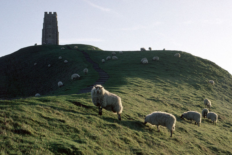 Architecture EyeEmNewHere Flock Of Sheep Glastonbury Tor Grazing Historical Sights History Landscape Livestock Nature Paying Attention Sheep