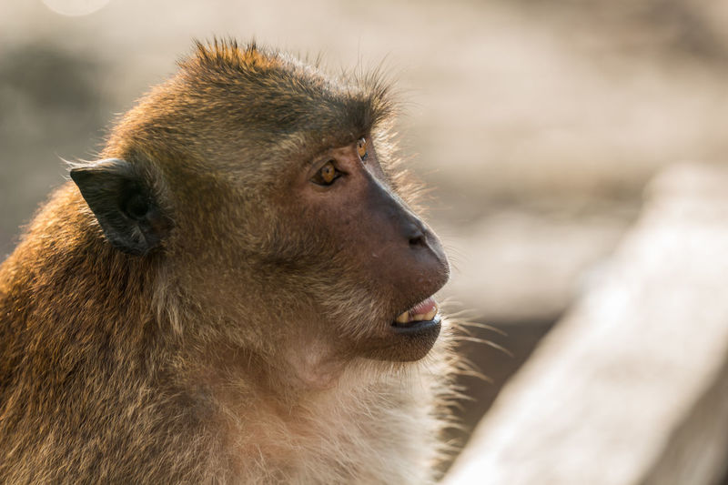Close-up of long-tailed macaque in zoo