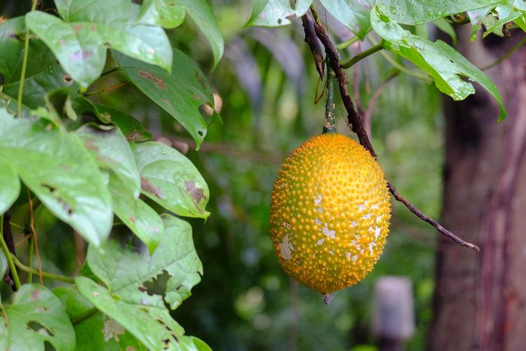 Gac fruit is a thai fruit that has medicinal properties.
