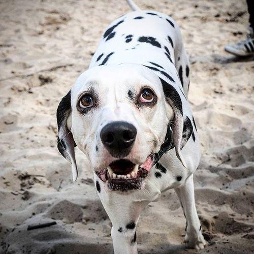 Dogs Dogsofinstagram Hund Dalmatiner  Kuhflecken Portrait Hundeportrait Blick Picoftheday Bestoftheday Picofinstagram Maya @annae